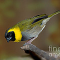 Cuban Melodius Finch by Anthony Mercieca