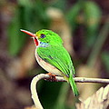 Cuban Tody by Don Downer