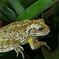 Cuban Tree Frog And Bromeliad. by Chris  Kusik