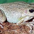Cuban Tree Frog Osteopilus by Millard H. Sharp