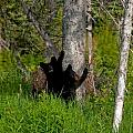 Cubs by Clint Pickarsky