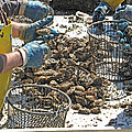 Culling Oysters by Barbara McDevitt