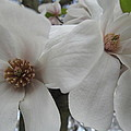 Cultivar Double Magnolia Blossoms by Tina M Wenger
