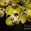 Cumbidium Orchid by Howard Stapleton