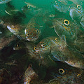 Cunner Fish Nova Scotia by Scott Leslie