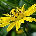 Cup Flower by Terri Waselchuk