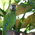 Curacao Parrot by Living Color Photography Lorraine Lynch