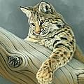 Curiosity - Young Bobcat by Paul Krapf