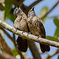 Curious Brown Babblers by Dave Montreuil