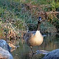 Curious Canadian Goose by Maria Urso