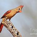 Curious Cardinal by Bryan Keil