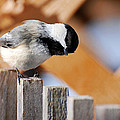 Curious Chickadee by Christina Rollo