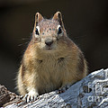Curious Chipmunk by Chris Scroggins