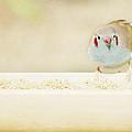 Curious Cordon Bleu Finch  by Lisa Knechtel