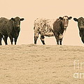 Curious Cows by Suzanne Oesterling