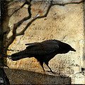 Curious Crow by Gothicrow Images
