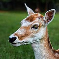 Curious Doe by Mariola Bitner