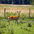Curious Doe by Pati Photography