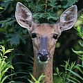 Curious Doe Up Close by Christopher Nelson