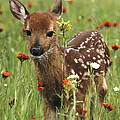 Curious Fawn by Chris Scroggins