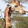 Curious Giraffe 2 by Pat Tracey