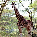 Curious Giraffe by Pat Tracey