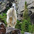 Curious Goat by Danielle Marie