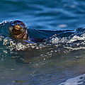 Curious Harbor Seal by Julie Chen