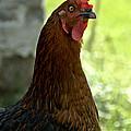 Curious Hen by Cheryl Baxter