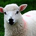 Curious Lamb by Aidan Moran