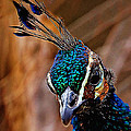 Curious Peacock Digital Art by Ernie Echols