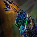 Curious Peacock  by Ernie Echols