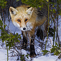 Curious Red Fox by Susan Candelario