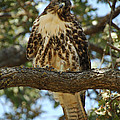 Curious Redtail by Donna Blackhall