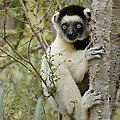 Curious Sifaka 1 by Michele Burgess