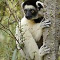 Curious Sifaka 2 by Michele Burgess