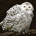 Curious Snowy Owl by Betty Arnold