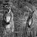 Curious Wallabies by Sean Davey