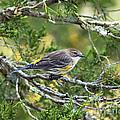 Curious Warbler by Joe Geraci