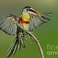 Curl-crested Aracari About To Perch by Anthony Mercieca