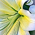 Curl Of A Lily by Dave Garner
