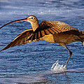 Curlew Preparing For Take Off by Julie Chen