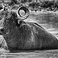 Curly Horns-black And White by Douglas Barnard