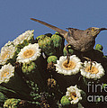 Curve-billed Thrasher Toxostoma by Ron Sanford