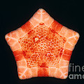 Cushion Star by D.P. Wilson/FLPA
