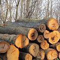 Cut Logs by Tina M Wenger