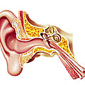 Cutaway Diagram Of Human Ear by Leonello Calvetti