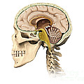 Cutaway View Of Human Skull Showing by Leonello Calvetti