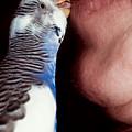 Cute Budgie Kissing Lips by Matthias Hauser