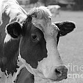 Cute Cow - Black And White by Carol Groenen